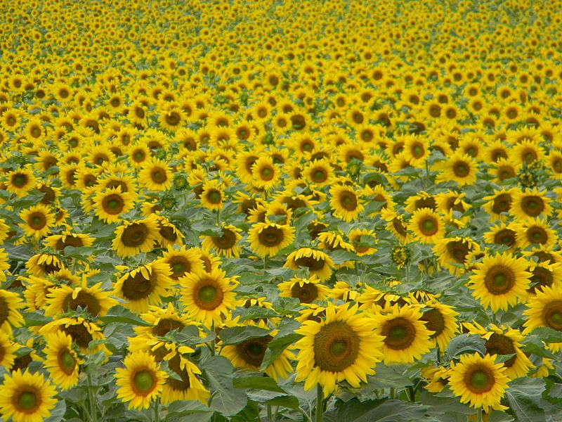 The End-Time Sunflower Prophecy – Sid Roth